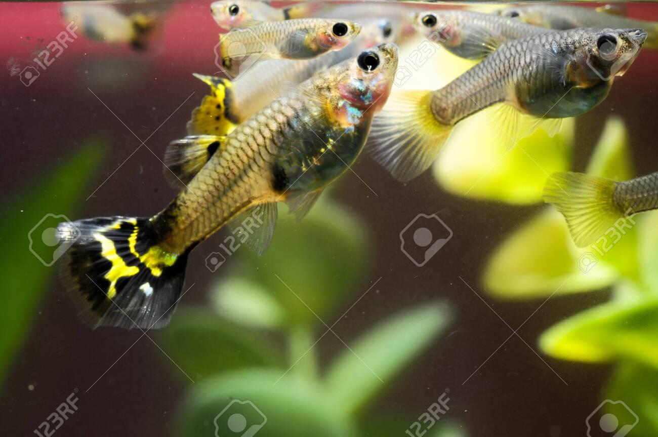 Guppy Multi Colored Fish in a Tropical Acquarium Stock Photo - 26288678