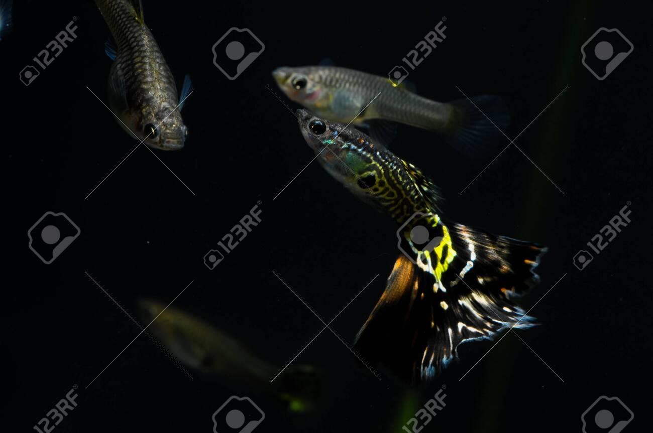 Guppy Multi Colored Fish in a Tropical Acquarium Stock Photo - 26302966