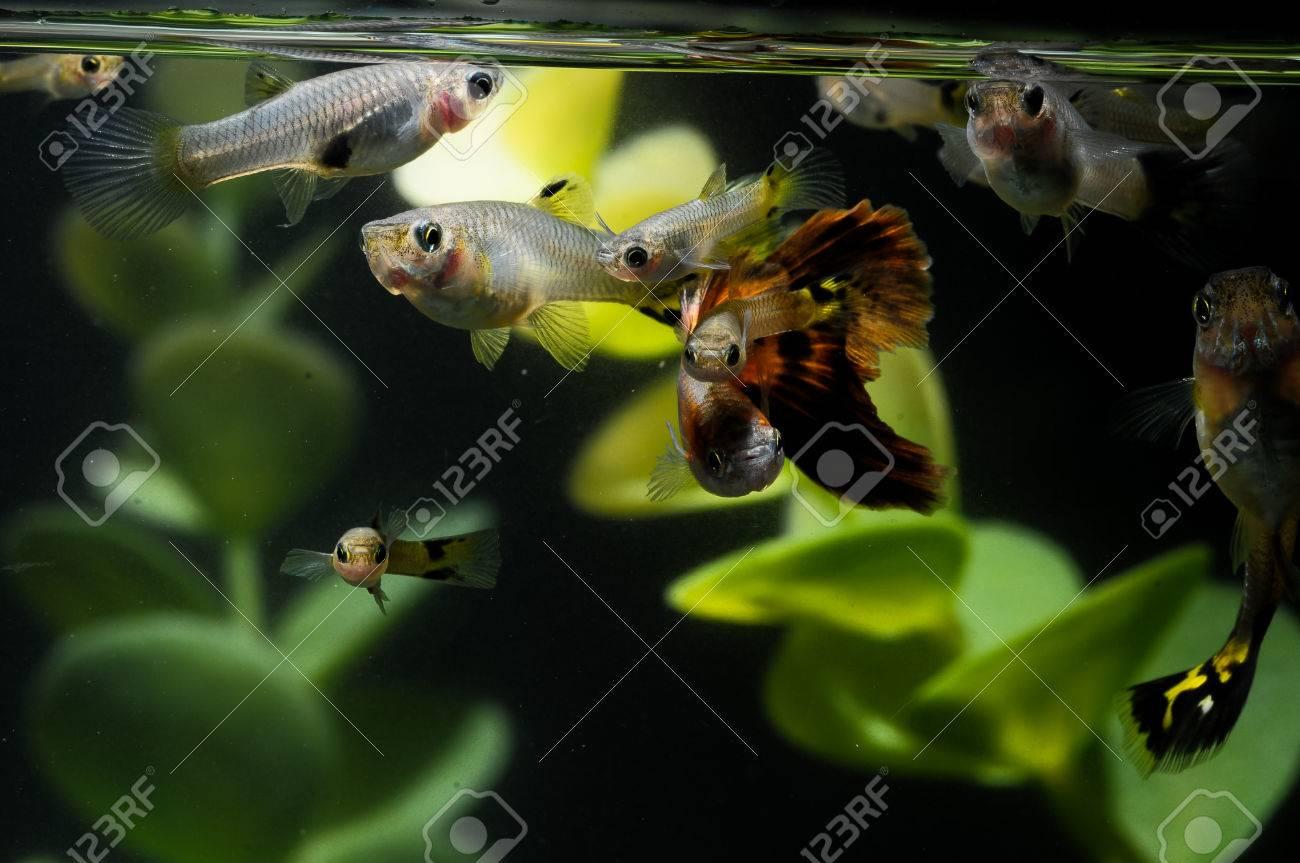 Guppy Multi Colored Fish in a Tropical Acquarium Stock Photo - 27507780