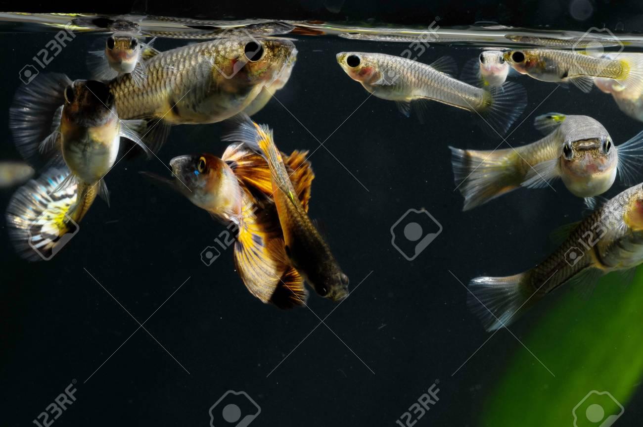 Guppy Multi Colored Fish in a Tropical Acquarium Stock Photo - 27721221