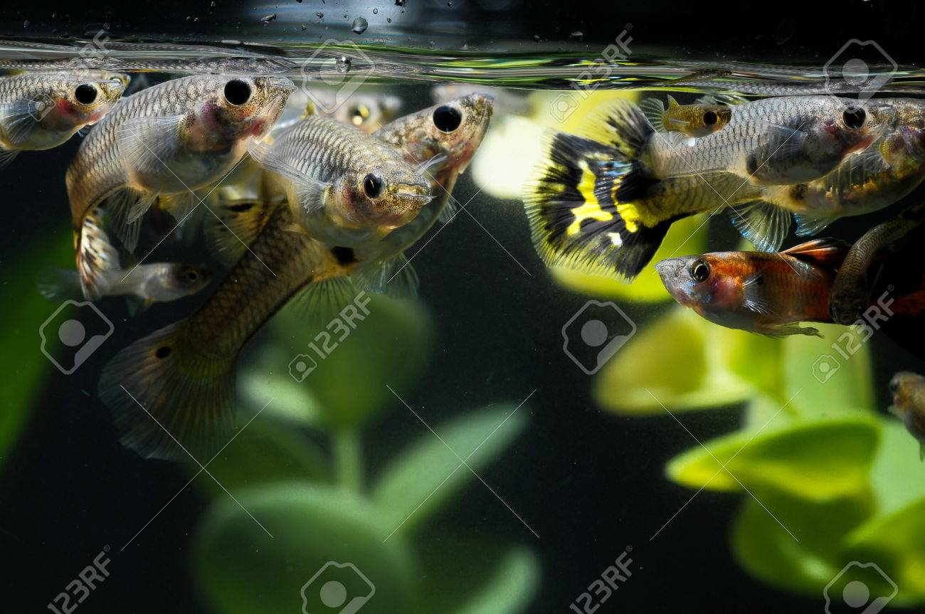 Guppy Multi Colored Fish in a Tropical Acquarium Stock Photo - 27805203