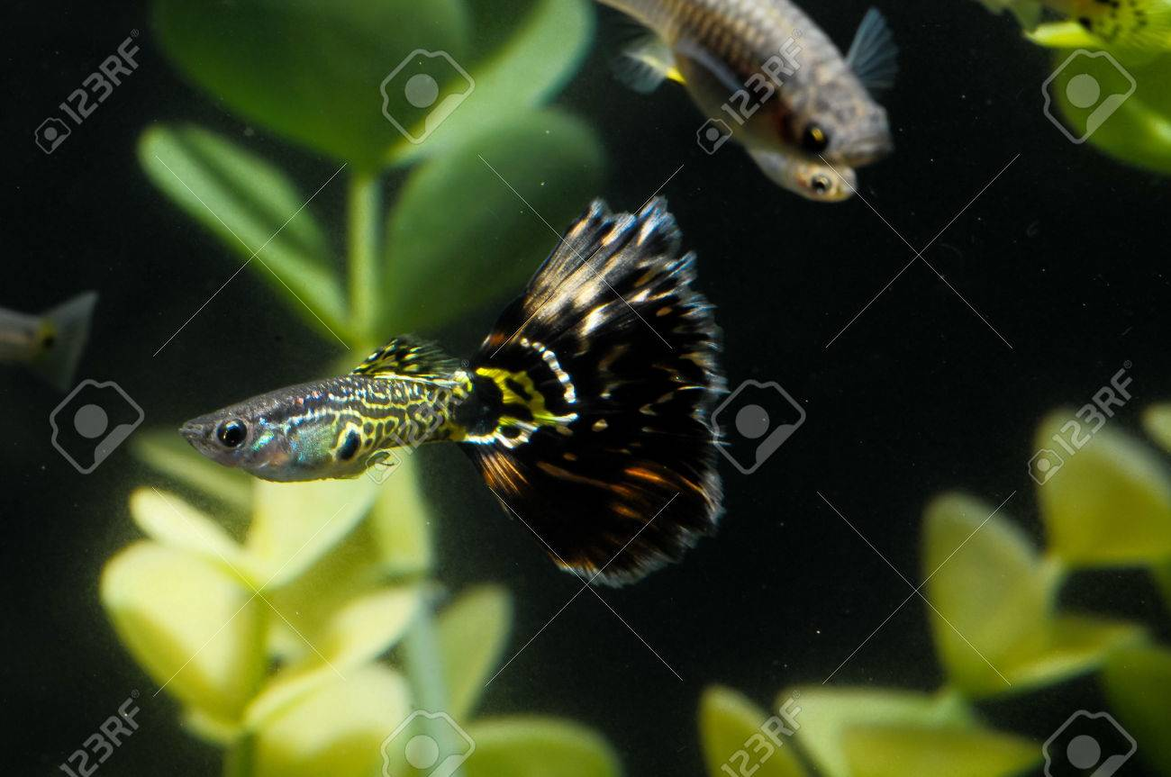 Guppy Multi Colored Fish in a Tropical Acquarium Stock Photo - 28115102