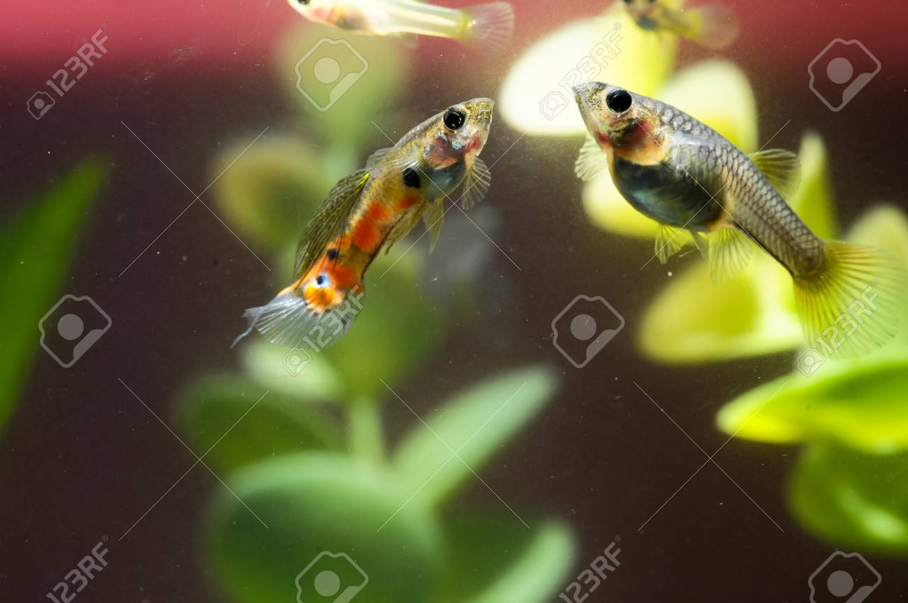 Guppy Multi Colored Fish in a Tropical Acquarium Stock Photo - 28901835