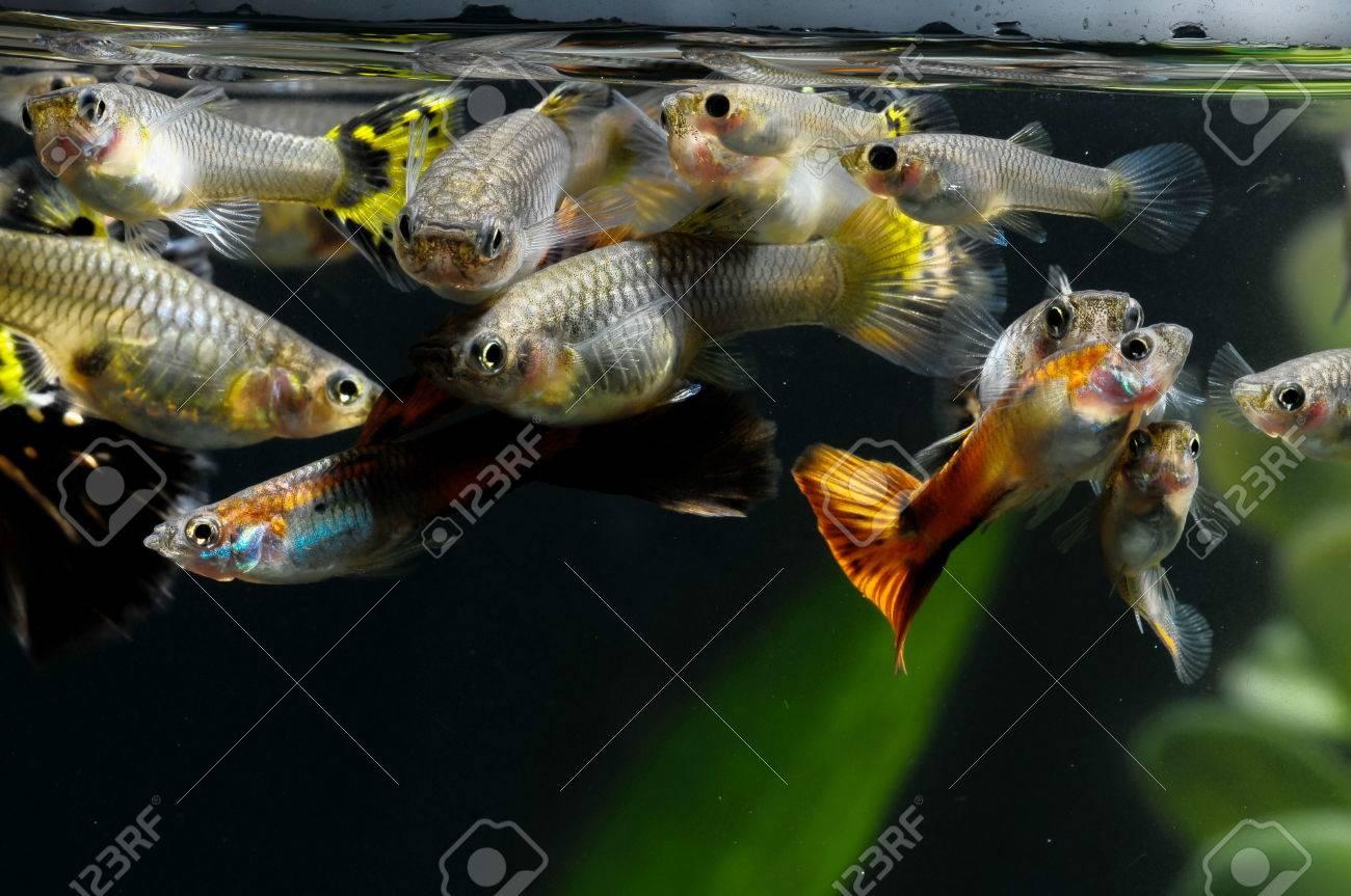 Guppy Multi Colored Fish in a Tropical Acquarium Stock Photo - 28901842