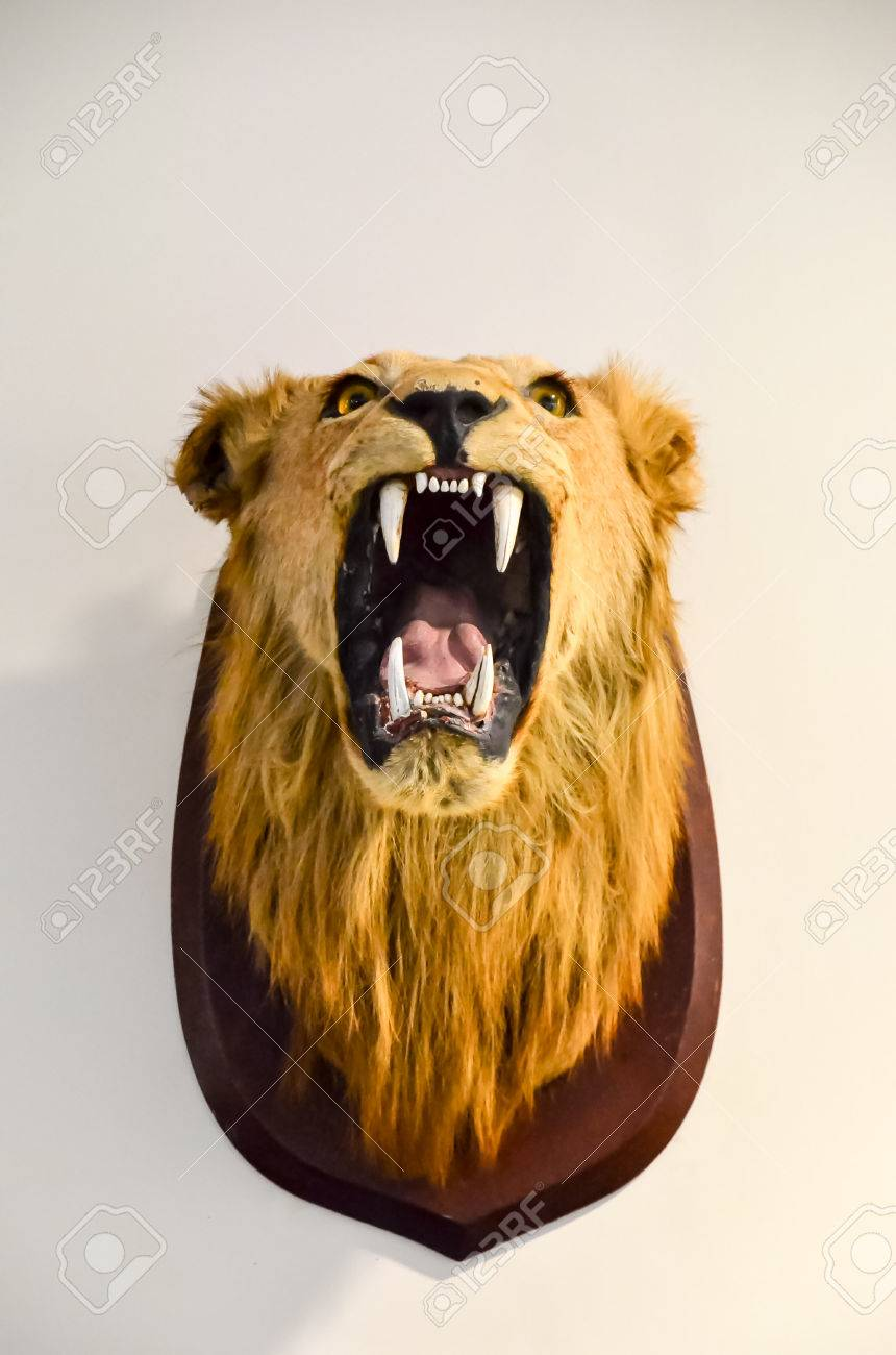 lion head as a trophy on a white wall stock photo picture and