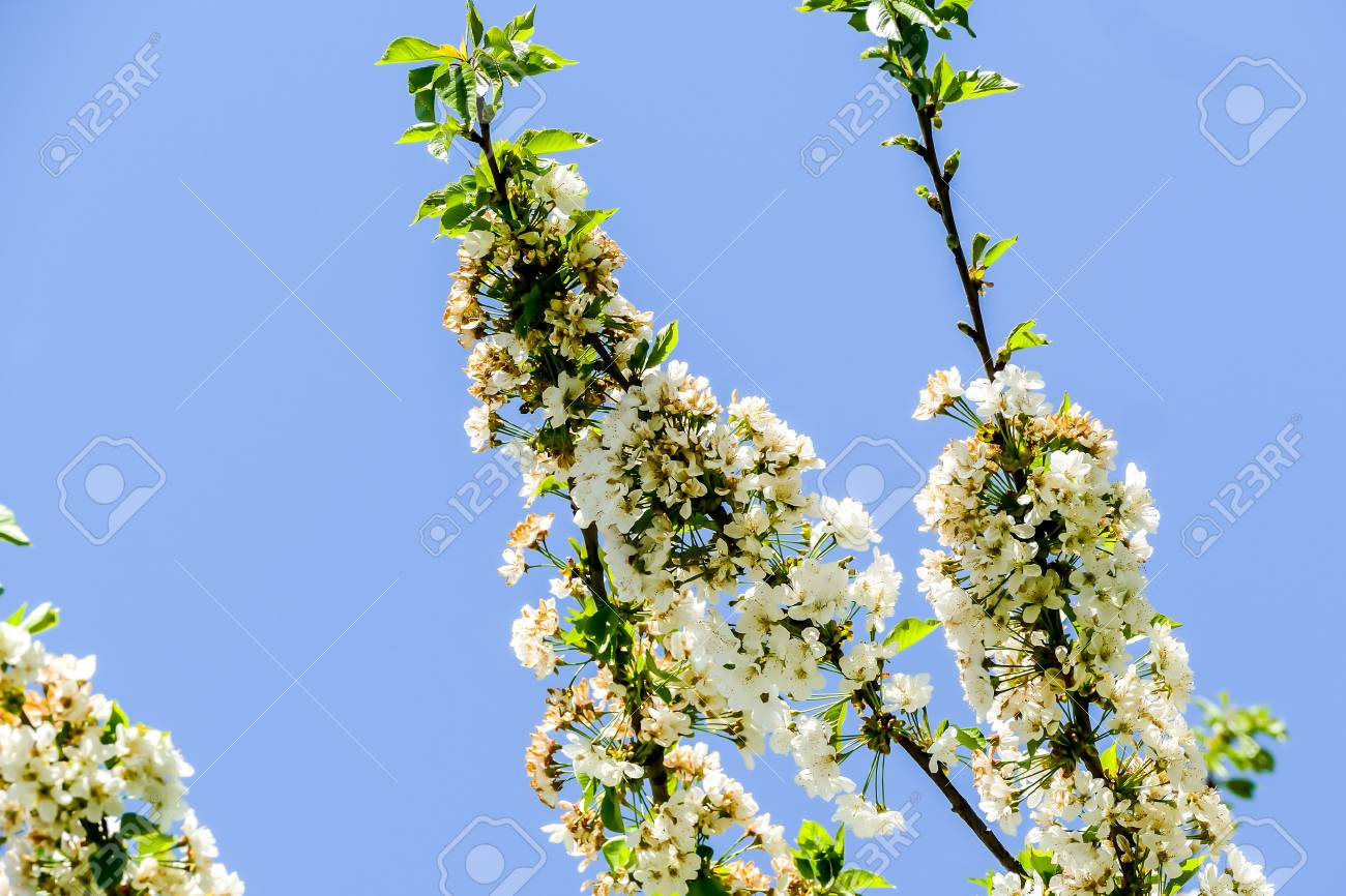 White Flowers Of Cherry Tree In Spring Beautiful Photo Digital