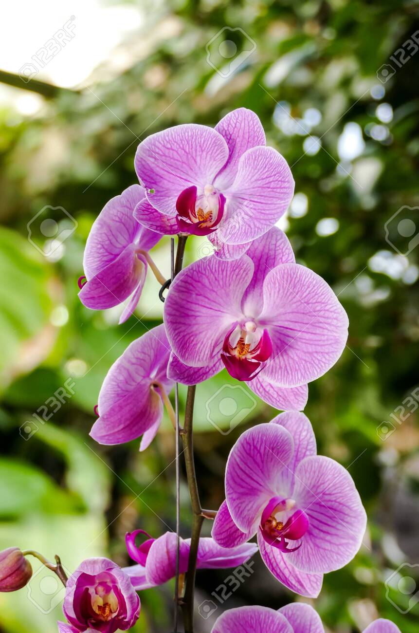 Orchid flower in tropical garden Phalaenopsis Orchid flowers..