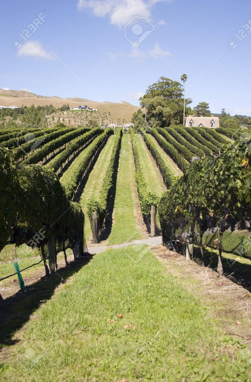 Grapes ready for Harvest, Havelock North, Hawke's Bay Stock Photo - 2568015