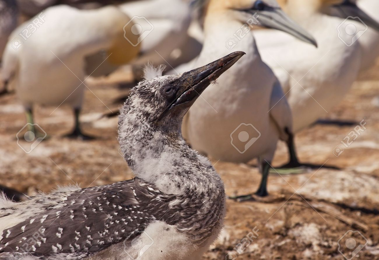 A young gannet chick at Cape Kidnappers Gannet Colony, Hawkes Bay New Zealand. Cape Kidnappers is the largest land based colony in the world. Stock Photo - 4653168