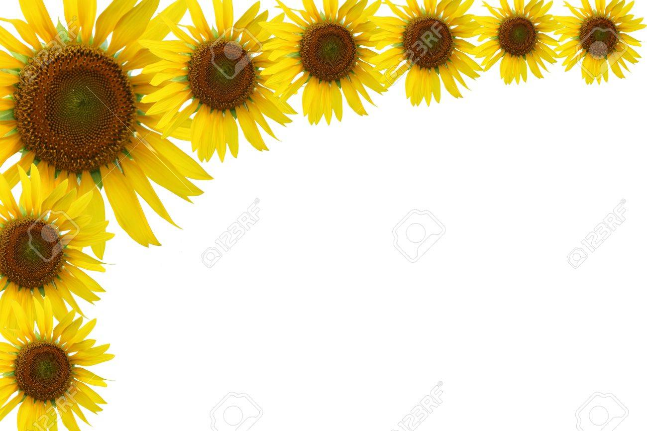 Sunflower Frame On White Background Stock Photo, Picture And Royalty ...