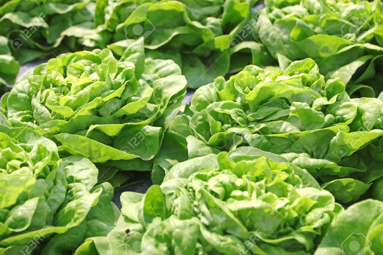 Grüner Salat In Der Mulch Kunststoff-Folie Angebaut. (Mulchen ...