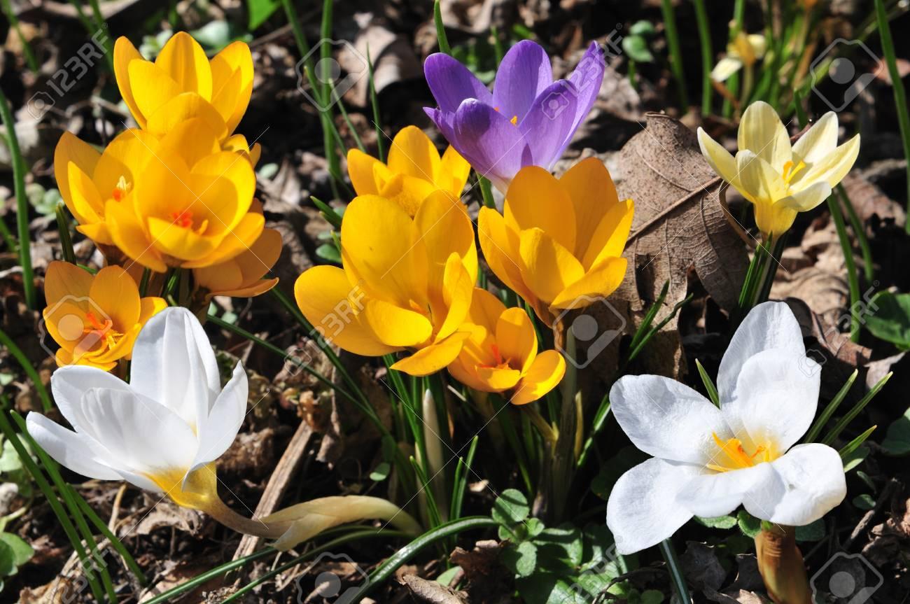 Beliebt Bevorzugt Blühende Krokusse In Verschiedenen Farben Im Frühling Wiese #WI_76
