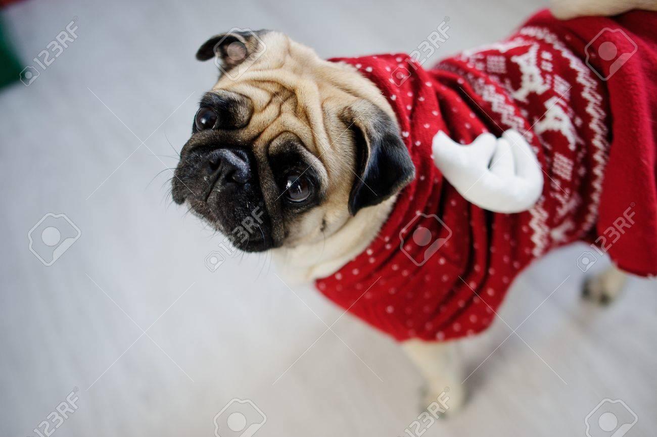 foto de archivo perrito divertido de la raza un barro amasado en un traje de reno el perro est vestido con un suter rojoblanco