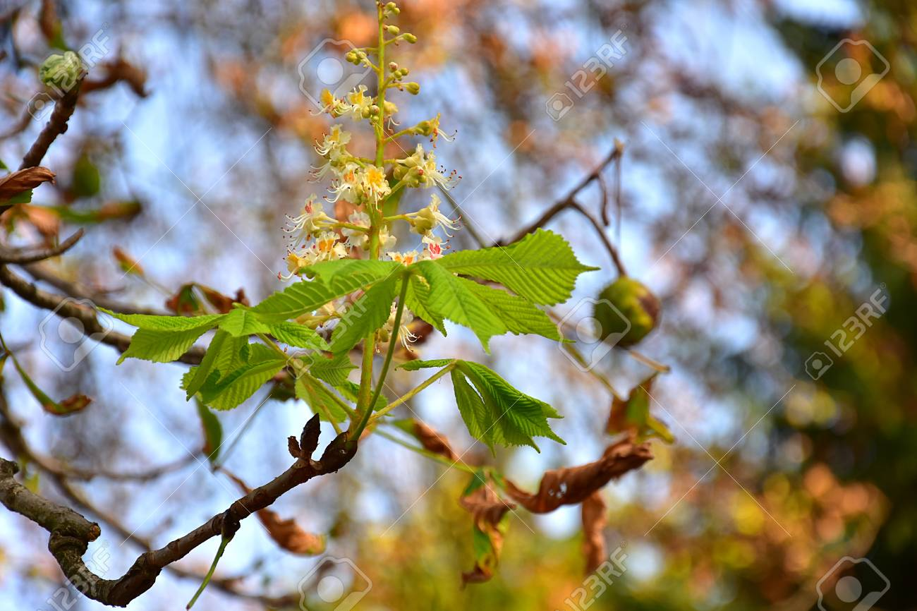 Wild Chestnut Trees In The Park In Summer And Incredible With