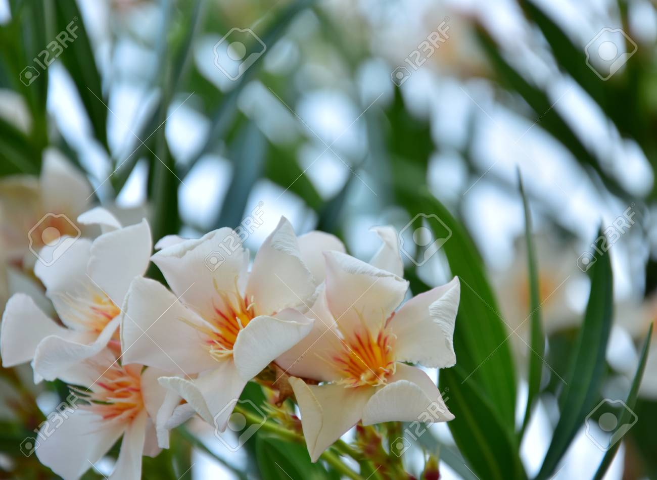 Oleander With White And Orange Flowers Shot During Summertime