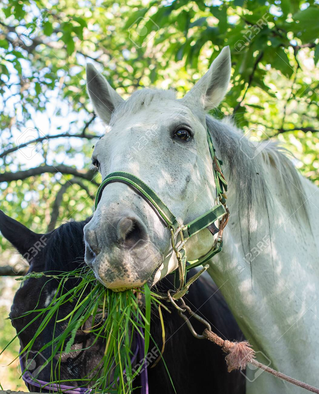 Portrait Of Cute White Horse While She Eating The Green And Fresh Stock Photo Picture And Royalty Free Image Image 130326727