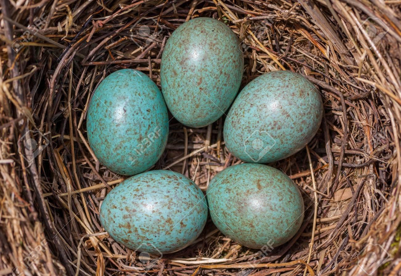 Bird's Blackbird Nest - Five turquoise speckled eggs in the nest - 52382985