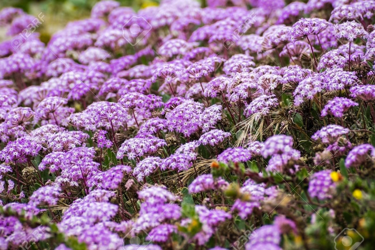 Pink Sand Verbena Abronia Umbellata Wildflowers Blooming On