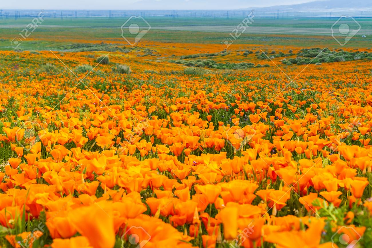 Fields of California Poppy (Eschscholzia californica) during peak blooming time, Antelope Valley California Poppy Reserve - 115256436