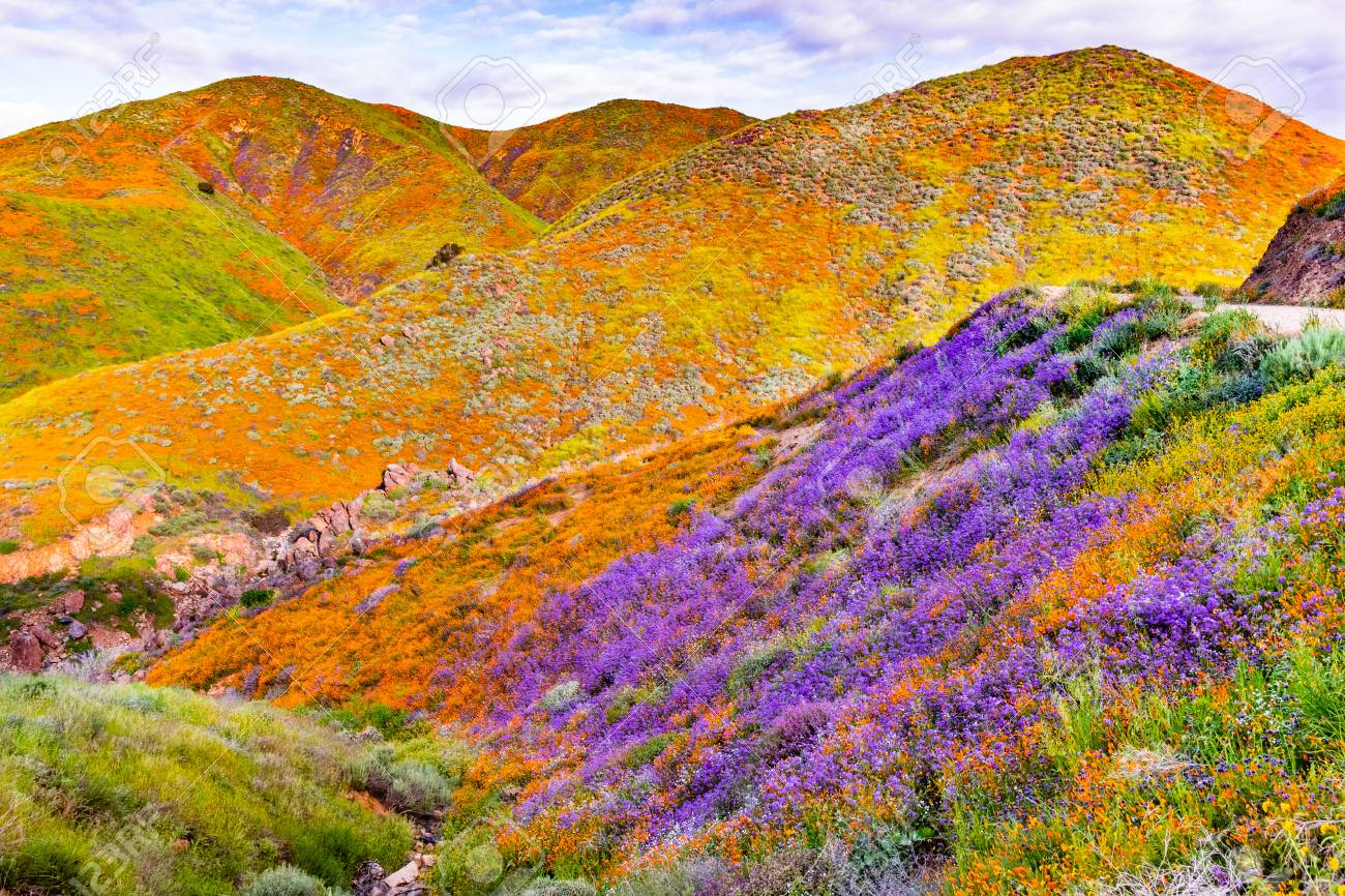 Landscape in Walker Canyon during the superbloom, California poppies covering the mountain valleys and ridges, Lake Elsinore, south California - 119986667