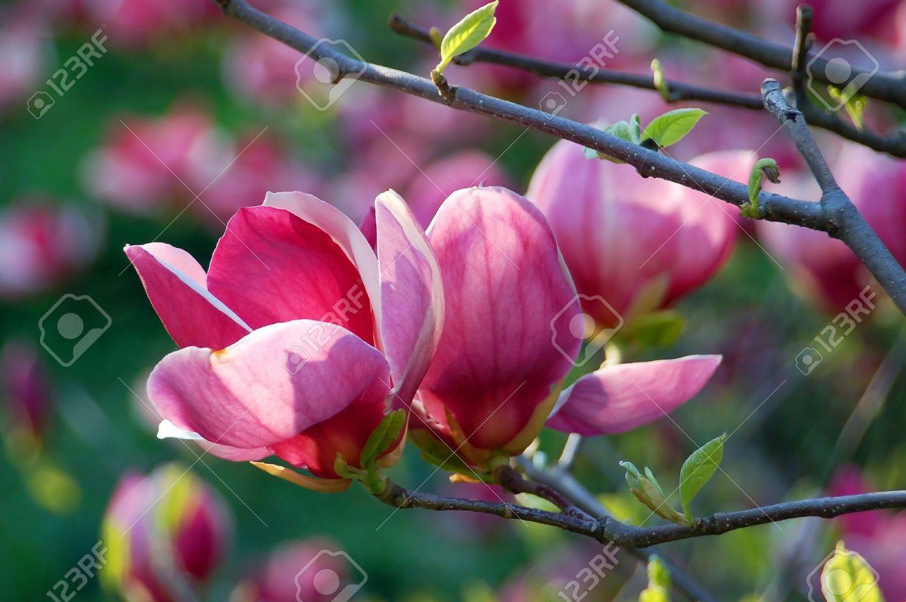 Bloomy magnolia tree with big pink flowers stock photo picture and bloomy magnolia tree with big pink flowers stock photo 6817102 mightylinksfo