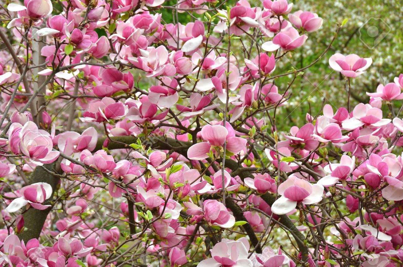 Bloomy magnolia tree with big pink flowers stock photo picture and bloomy magnolia tree with big pink flowers stock photo 19939571 mightylinksfo