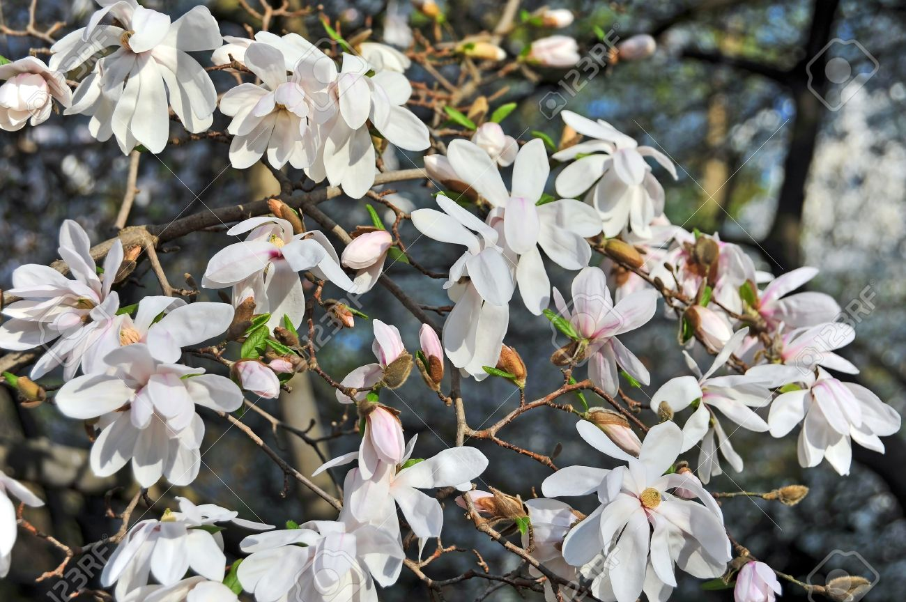 Bloomy magnolia tree with big white flowers stock photo picture and bloomy magnolia tree with big white flowers stock photo 20220736 mightylinksfo