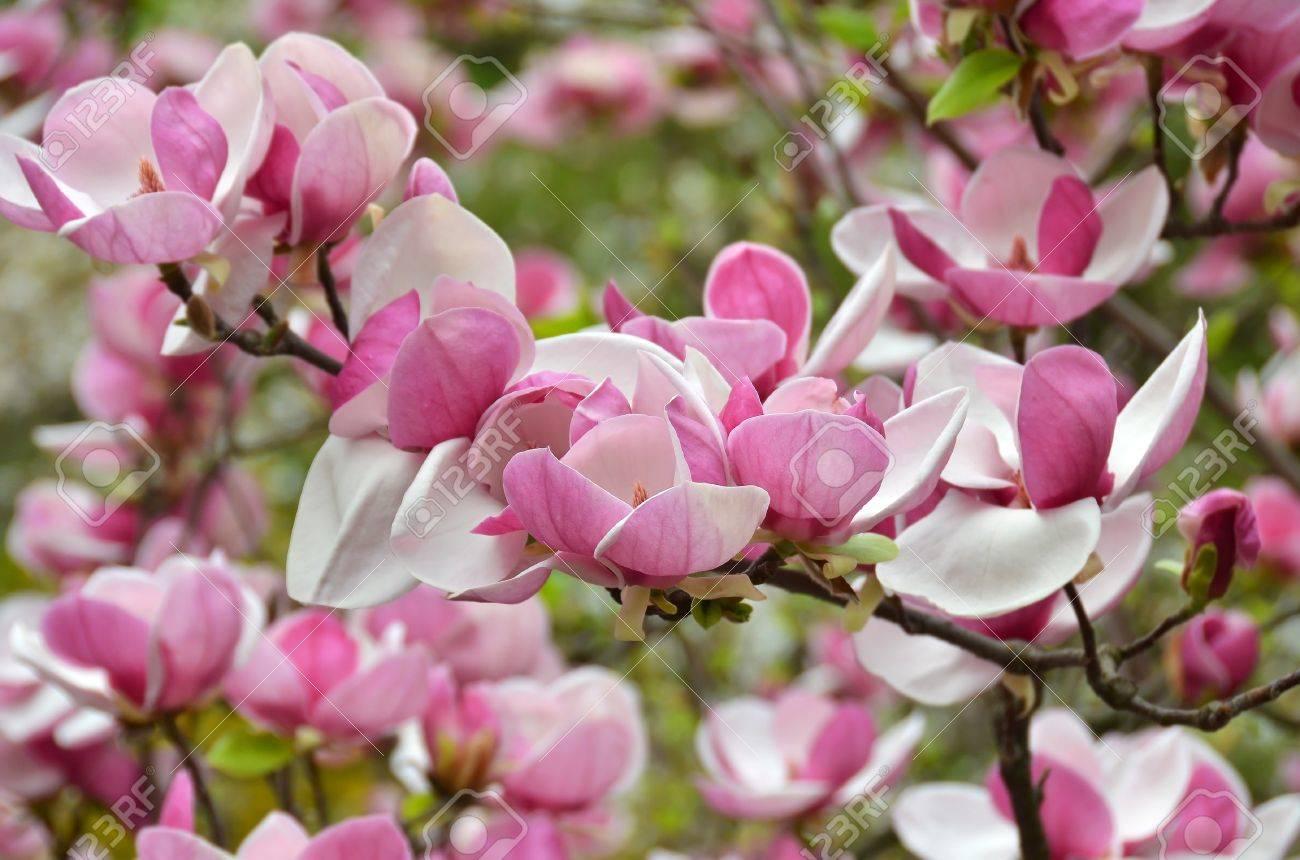 Bloomy magnolia tree with big pink flowers stock photo picture and bloomy magnolia tree with big pink flowers stock photo 20220709 mightylinksfo