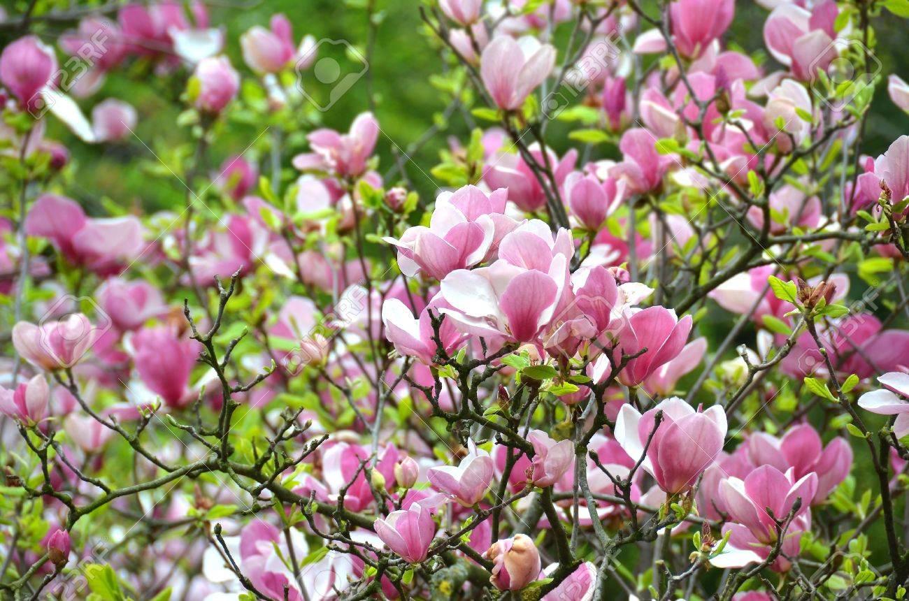 Bloomy magnolia tree with big pink flowers stock photo picture and bloomy magnolia tree with big pink flowers stock photo 38677256 mightylinksfo