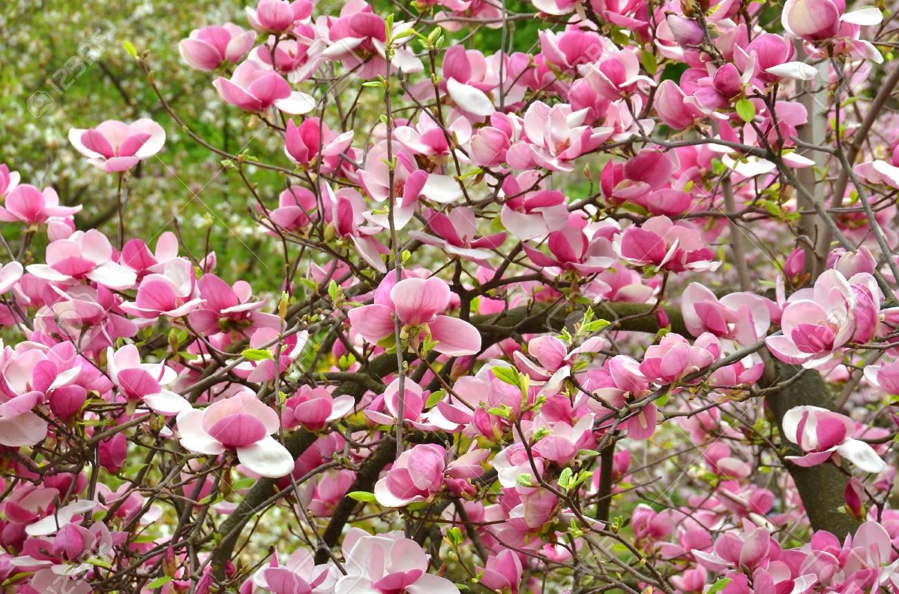 Bloomy magnolia tree with big pink flowers stock photo picture and bloomy magnolia tree with big pink flowers stock photo 55366311 mightylinksfo