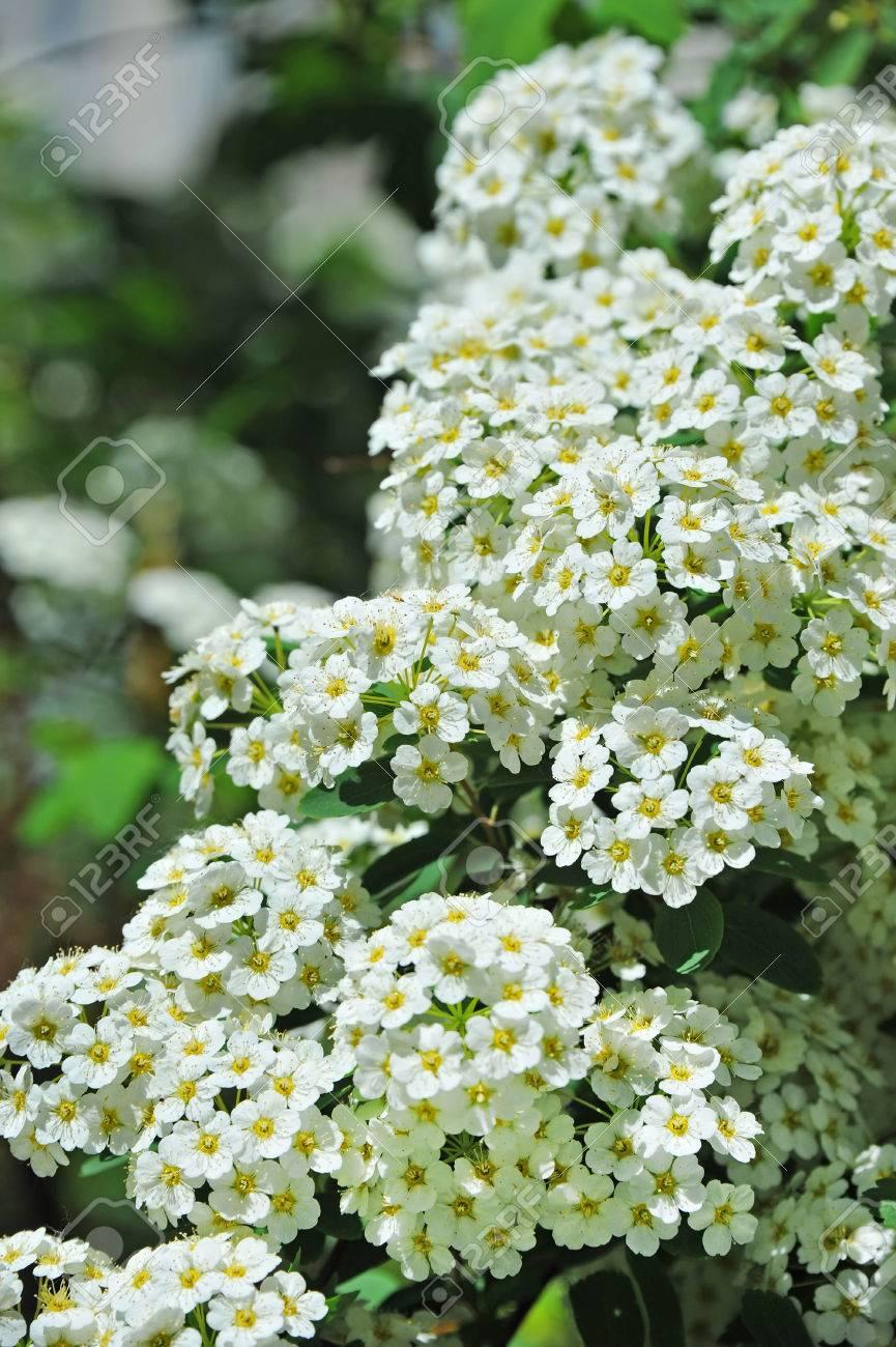 Spiraea Alpine Spring Flower, White Flowering Shrub Stock Photo ...