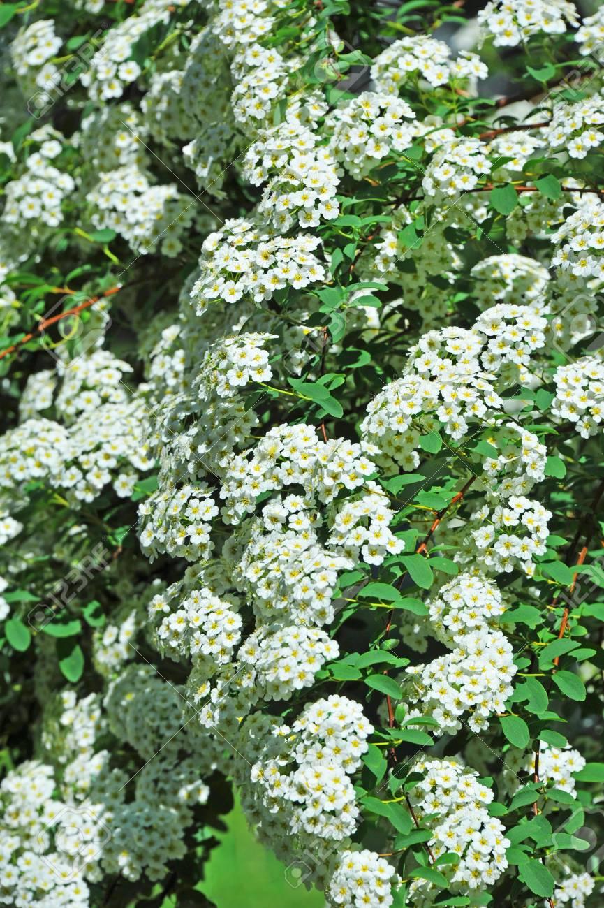 Spiraea Alpine Spring Flower White Flowering Shrub Stock Photo