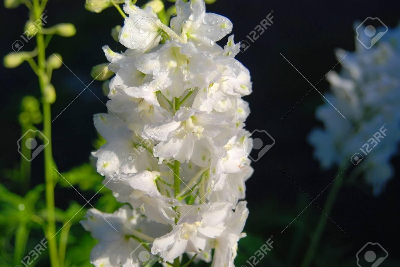 Beautiful white delphinium flower in rural flowerbed stock photo beautiful white delphinium flower in rural flowerbed stock photo 95057115 mightylinksfo
