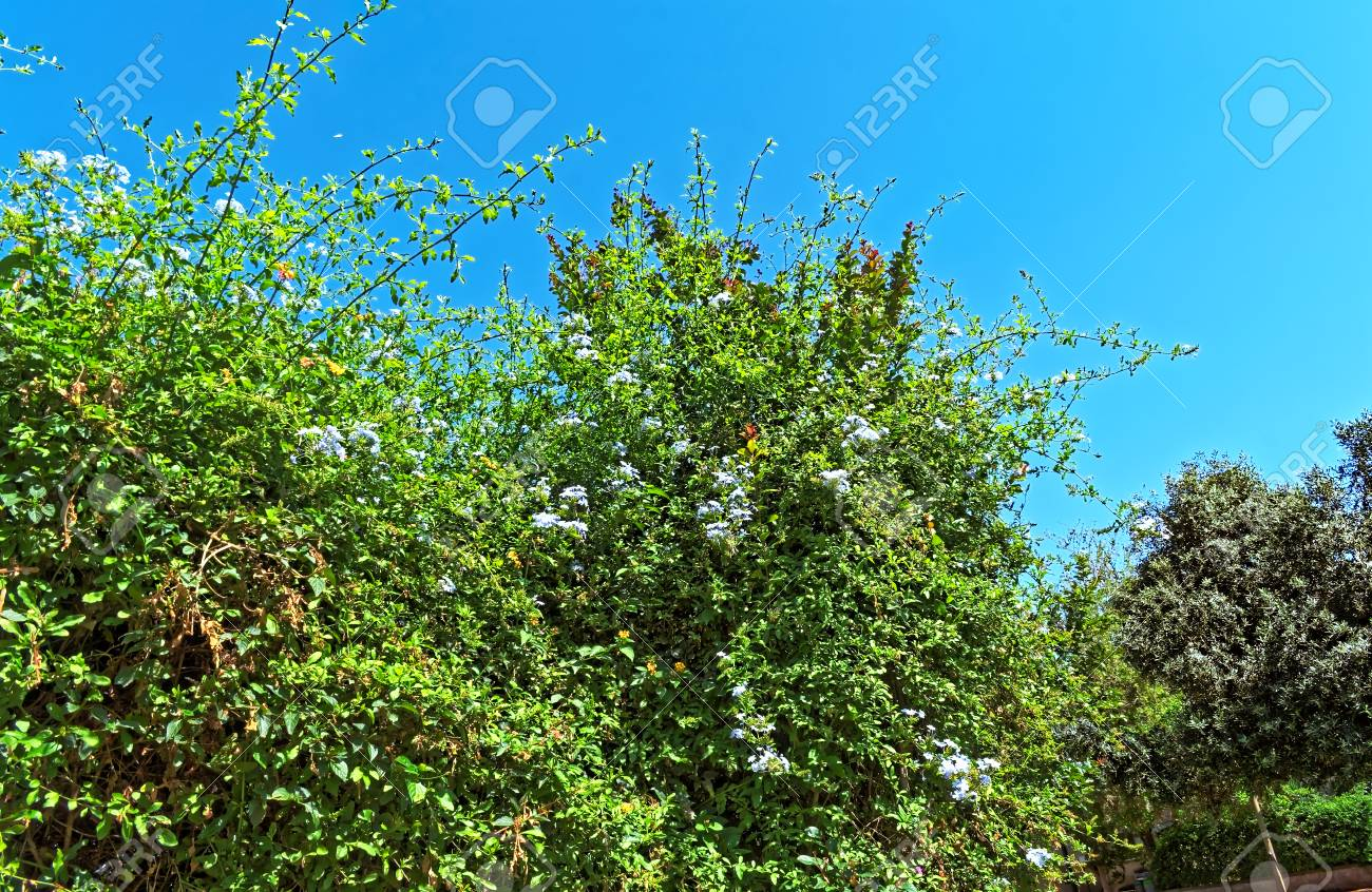 Radiant Giant Bush With Flowers And A Blue Sky In Sunlight Stock