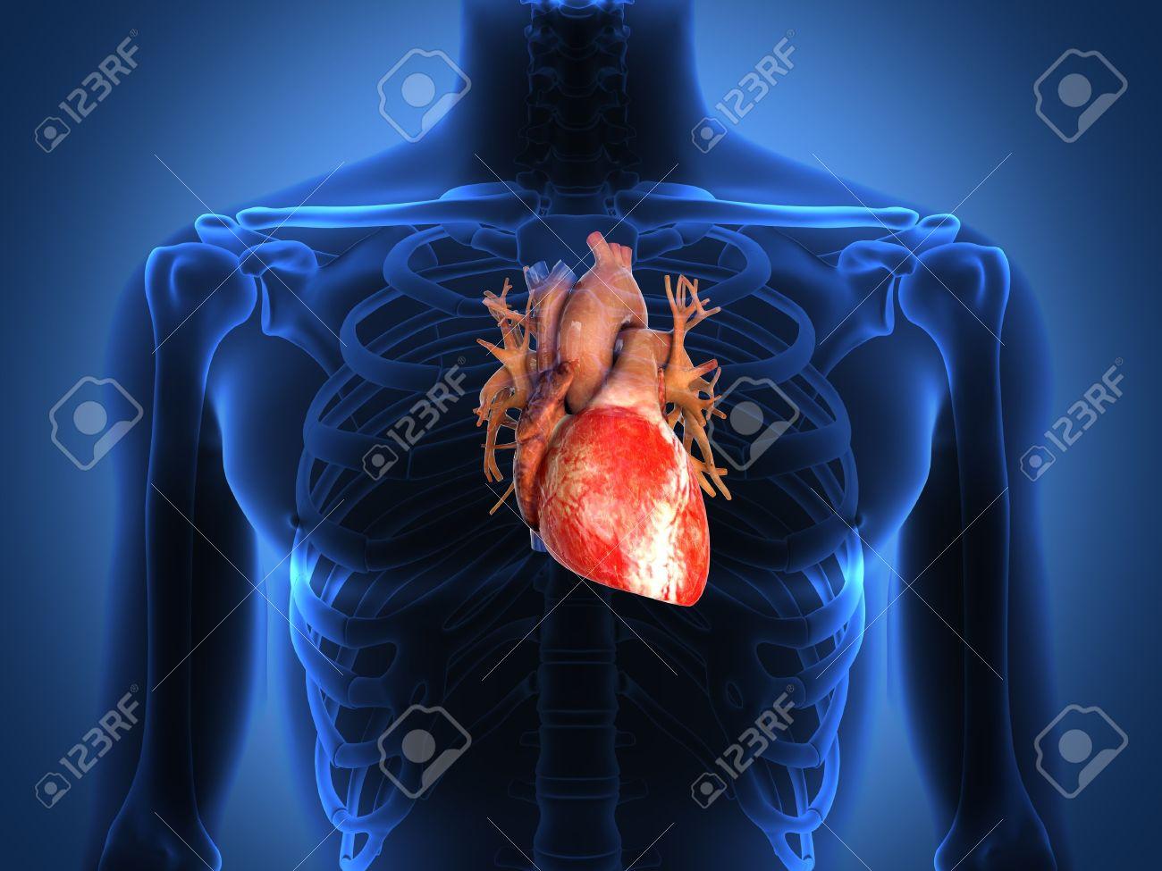 Anatomía Del Corazón Humano A Partir De Un Cuerpo Sano Fotos ...