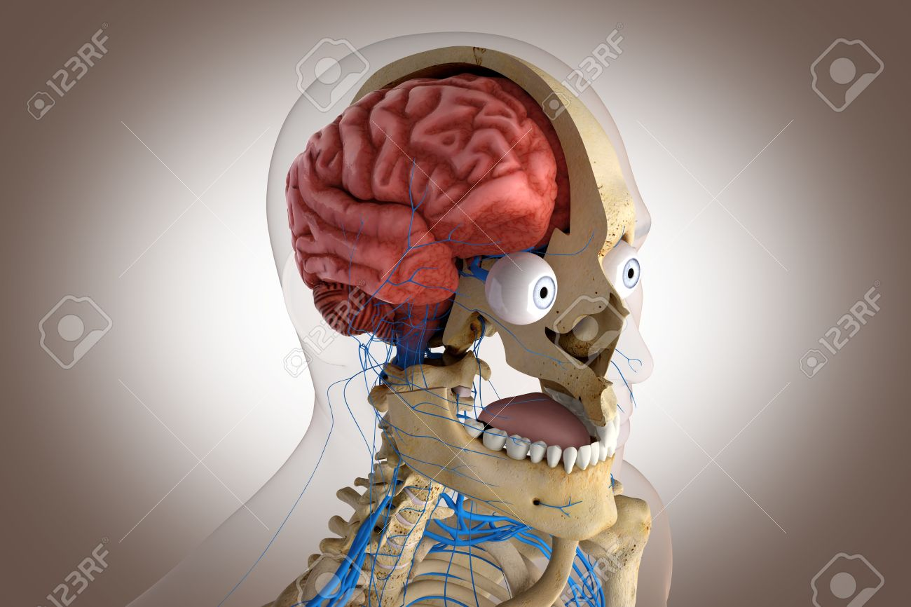 Human Anatomy - Structure Of Head Brain, Eyes Etc Stock Photo ...