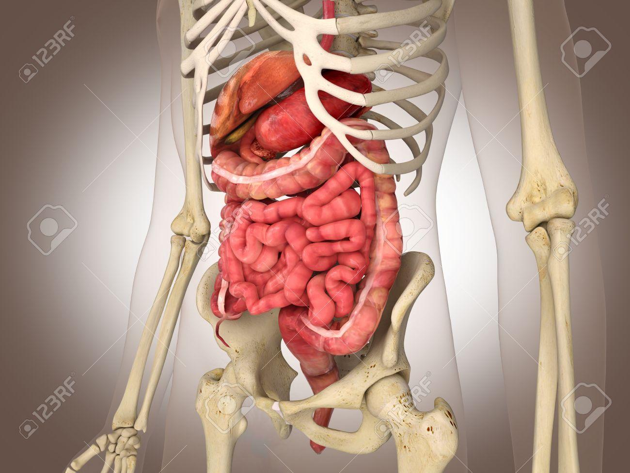 Man skeleton with internal organs 3 d digital rendering stock photo man skeleton with internal organs 3 d digital rendering ccuart Gallery