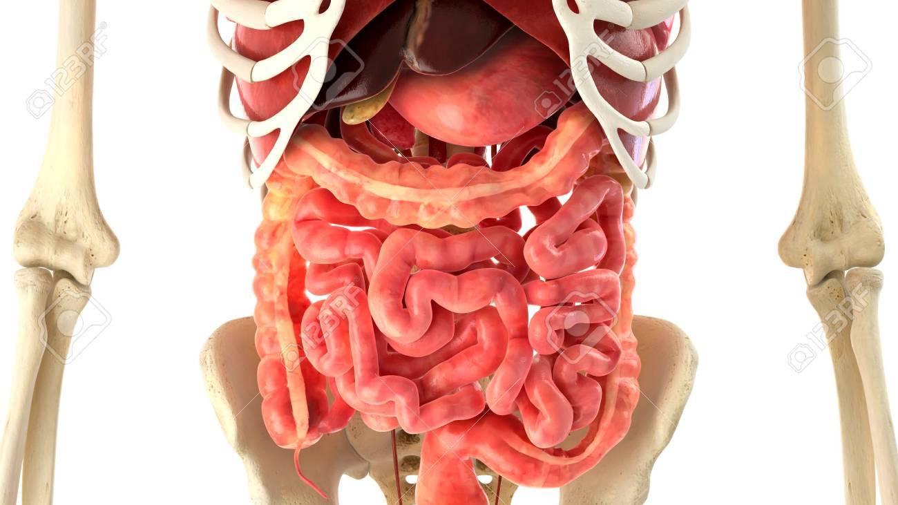 Der Menschliche Körper Und Die Inneren Organe Lizenzfreie Fotos ...