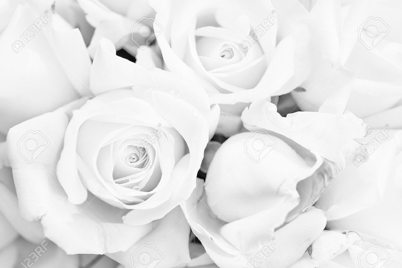 black and white rose background stock photo picture and royalty