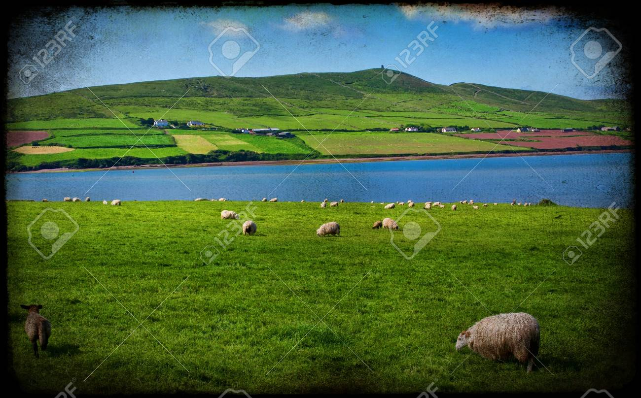 photo grunge sheep in rural landscape for farming Stock Photo - 6131537