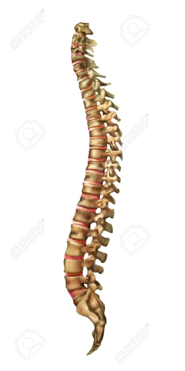Human Spine Bones And Backbone Joints Vector Royalty Free Cliparts