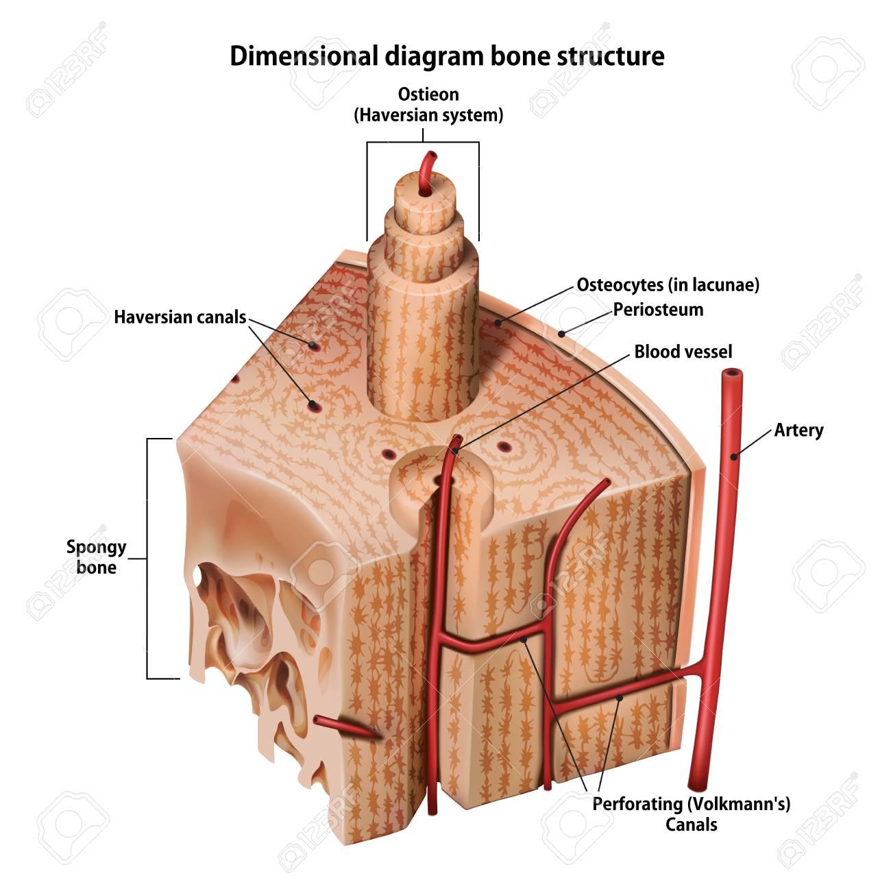 Three-dimensional diagram bone structure - 102959492