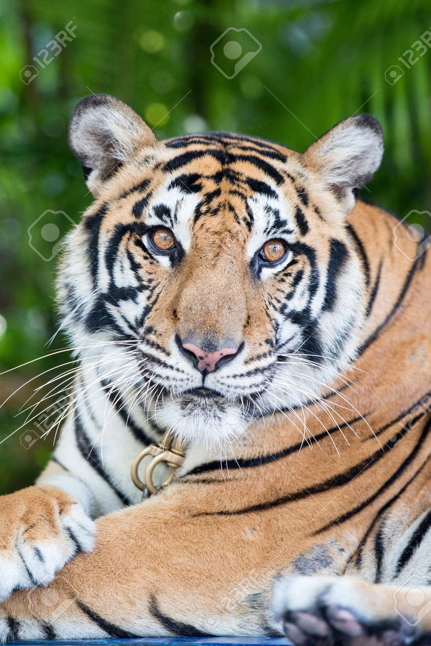 a Tiger at a Tourist Spot at the nong nooch tropical garden near the city of Pattaya in the Provinz Chonburi in Thailand. Thailand, Pattaya, November, 2018 - 140910752