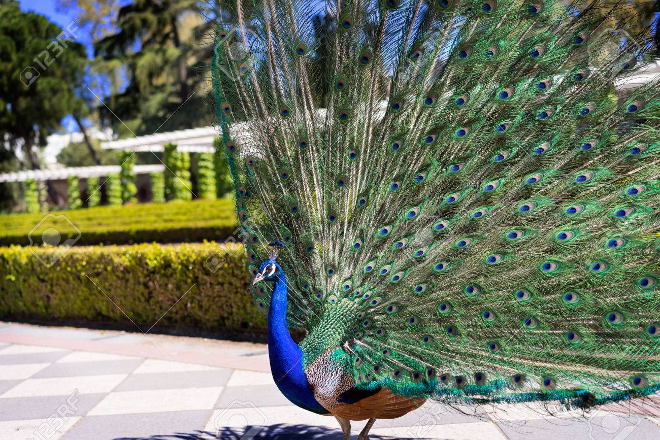 Beautiful male peacock with its tail open in the sun  Colorful