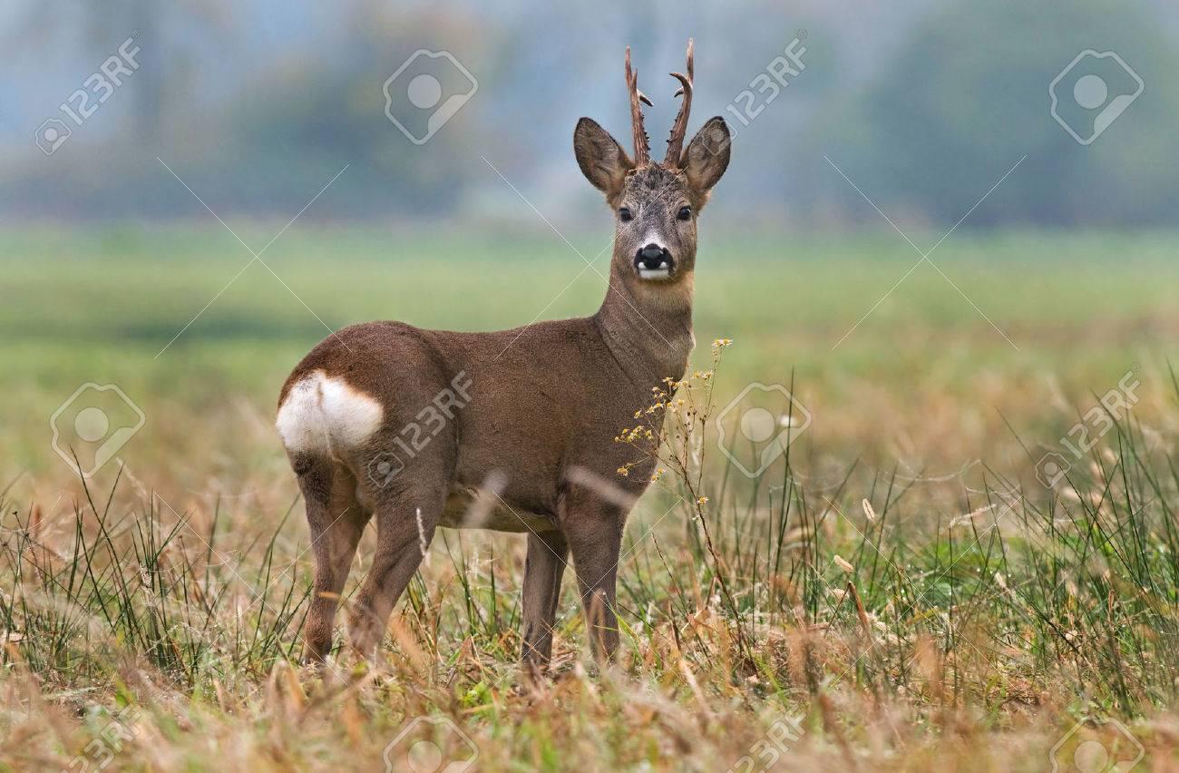 Roe deer - 28426701