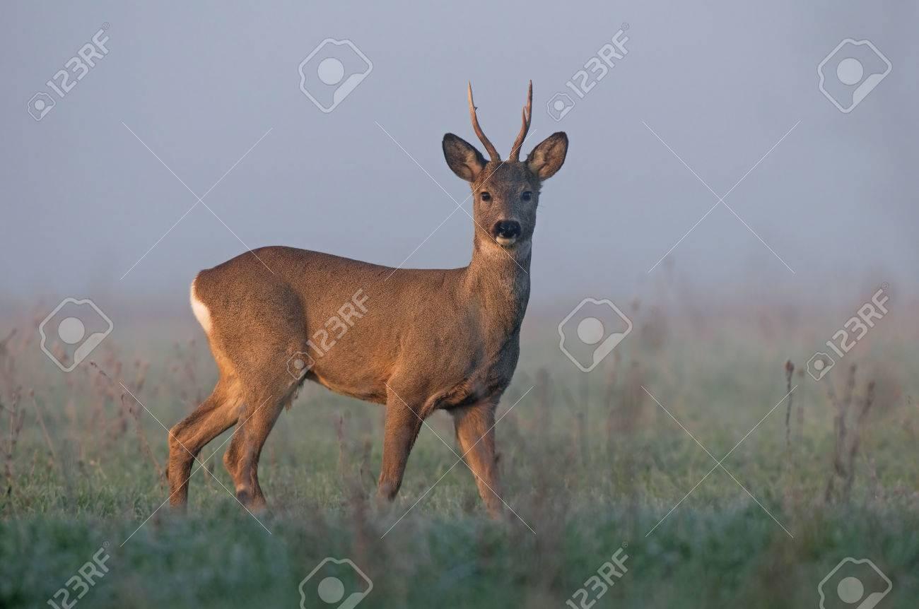 Roe deer in morning fog - 28880431