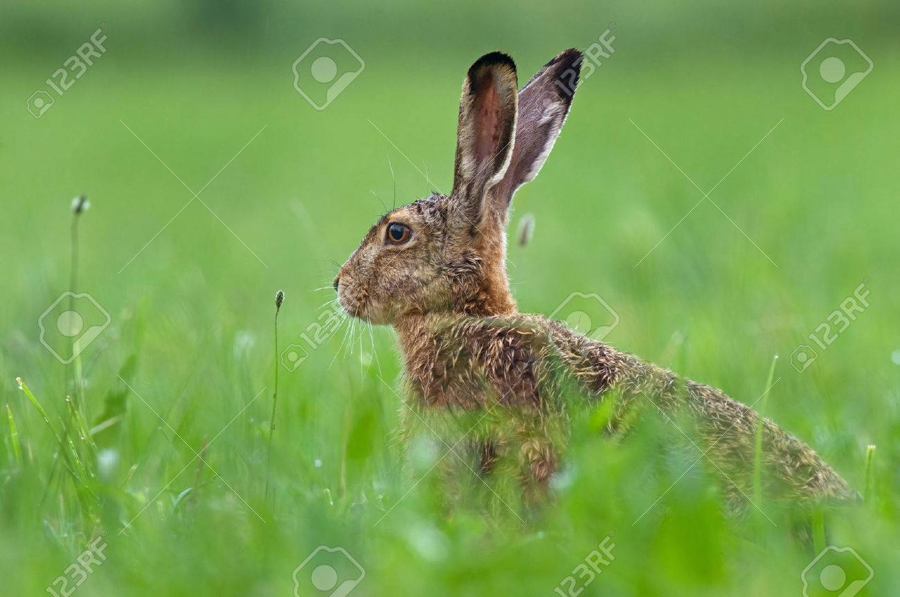 Brown hare - 28920079