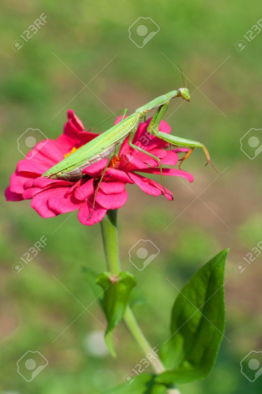 Praying Mantis Sitting On A Purple Flower Stock Photo Picture And