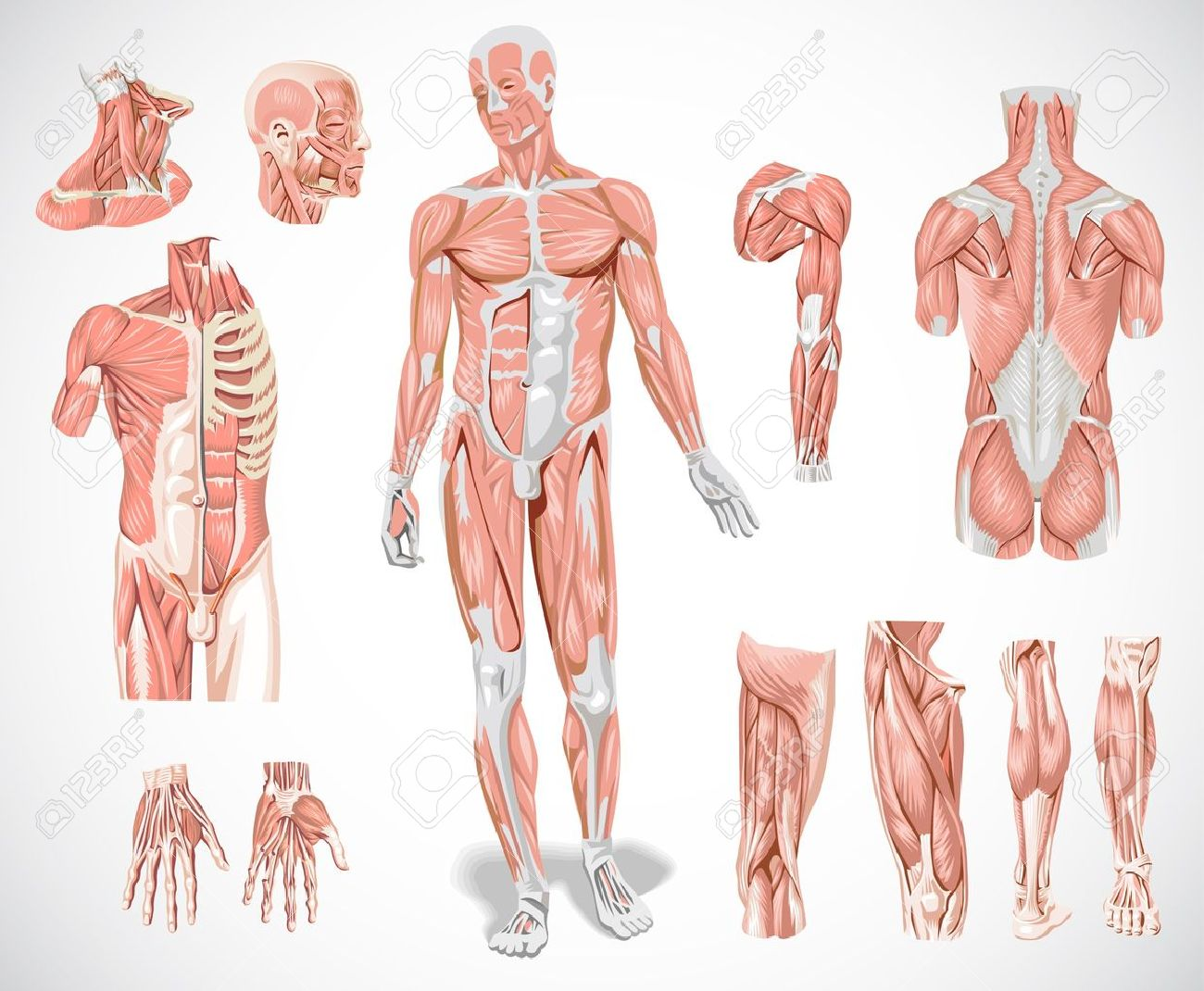 muscular anatomy stock photos images. royalty free muscular, Muscles