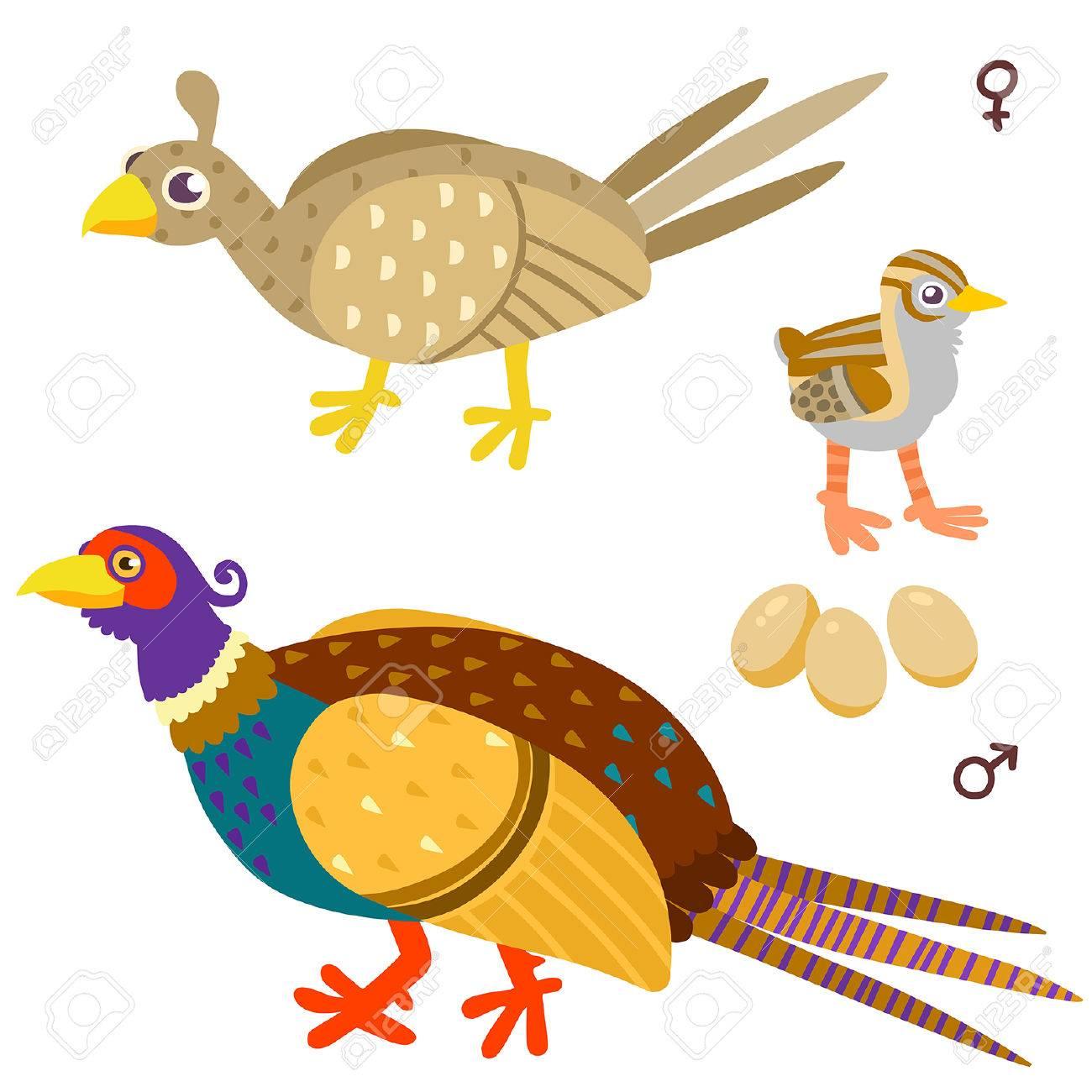 キジの家族を漫画します白い背景の上の鳥のイラストのイラスト素材